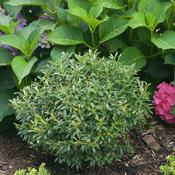 An evergreen inkberry holly against a hydrangea shrub.