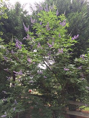 Purple-flowering tree