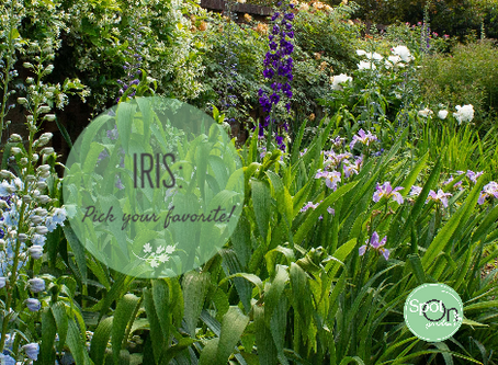 Pick Your Favorite: Iris