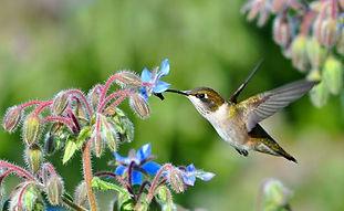 A hummingbird feeding on blue borage flowers