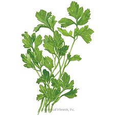 Green parsley leaves