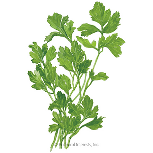 Green parsley leaves