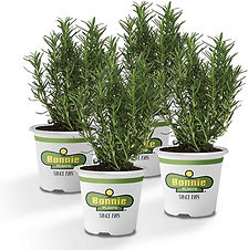 Potted rosemary plants for sale