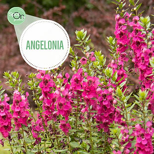 Bright pink Angelonia flowers