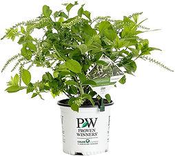 Scentlandia Sweetspire in a Proven Winners pot