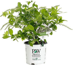 Scentlandia Sweetspire in a Proven Winners pot