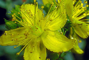 Close-up of yellow St. Johns Wort flower