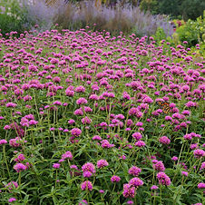 Pink gumballs float above clumps of foliage