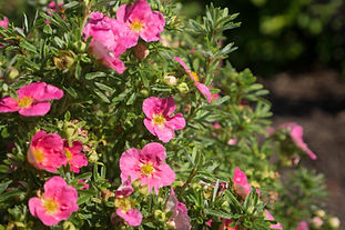 Pink-flowering shrub