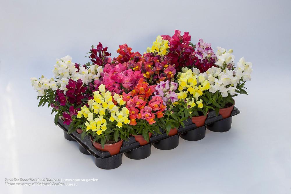 Snapdragons make great bedding flowers.