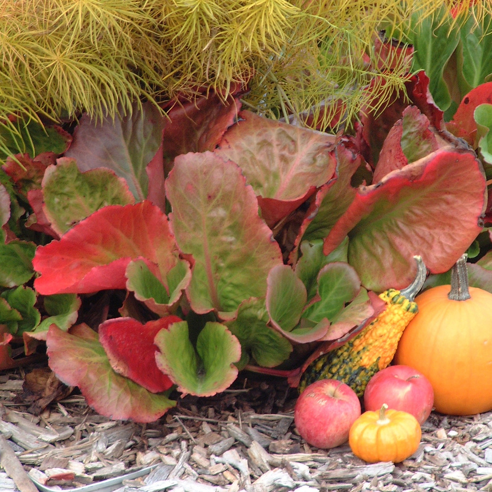 Colorful-leaved plants with gourds in a fall garden