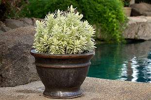 Gold and white foliage plant in a container by a pool