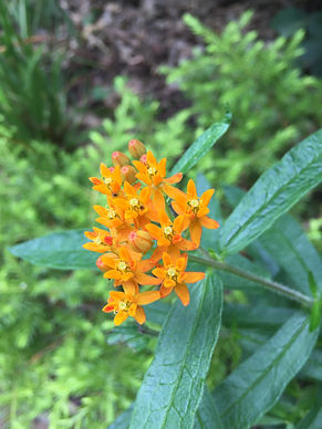 Milkweed's clusters of orange flowers attract butterflies