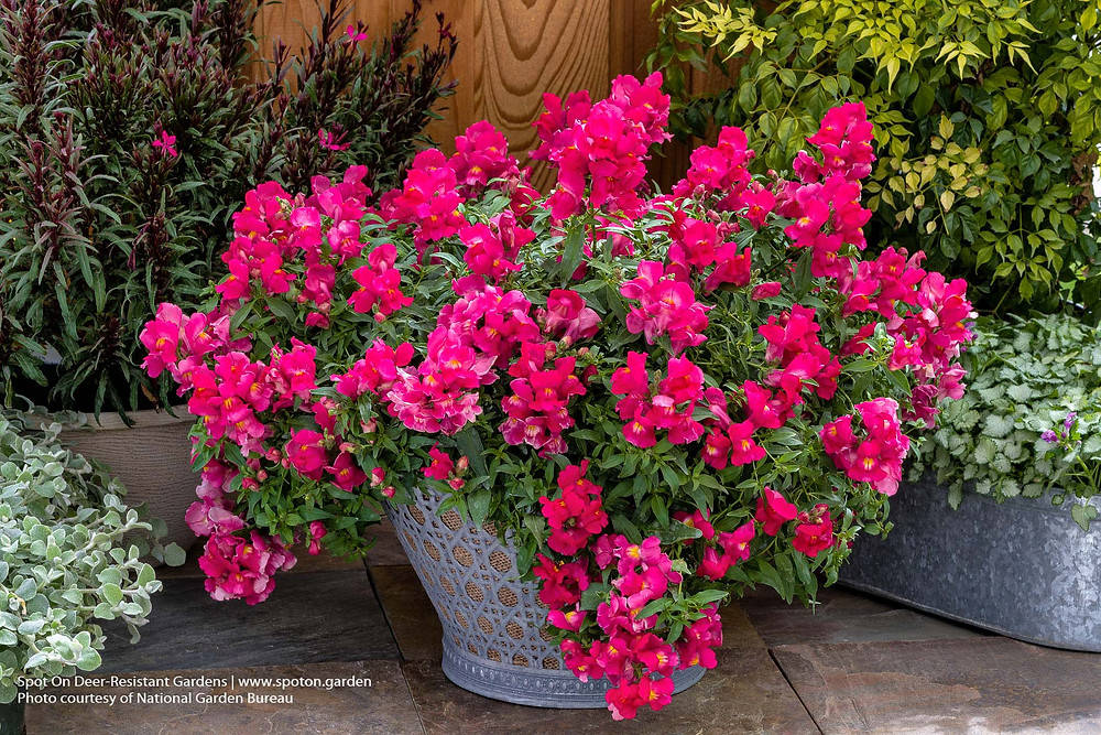 Trailing snapdragons work well in containers and hanging baskets