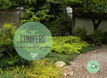 Deer-resistant evergreen conifers for year round beauty
