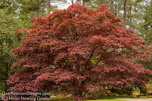 A large red-leaf Japanese maple