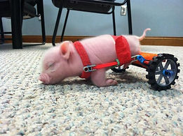 Tiny Pig in Wheelchair Sleeping