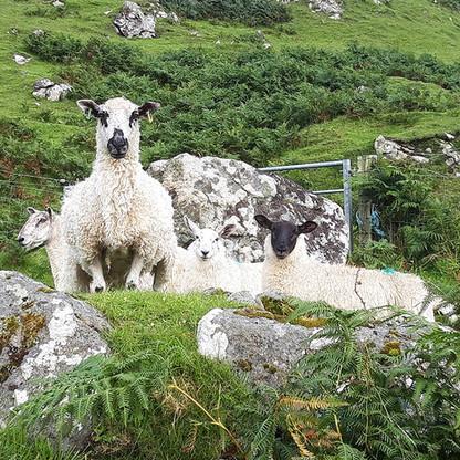 Balnahard Sheep
