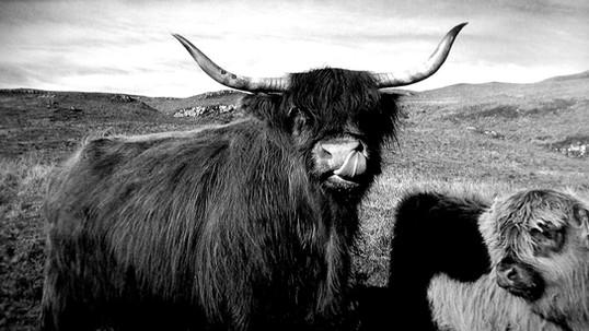 Colonsay cows
