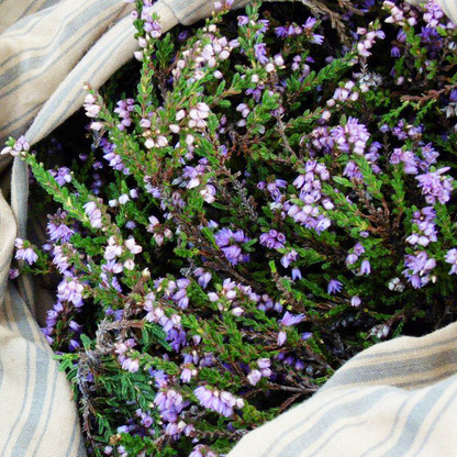 Colonsay heather