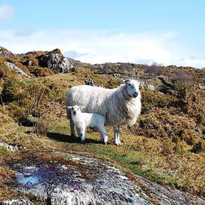 Balnahard Farm sheep