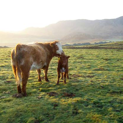 Balnahard Farm cows