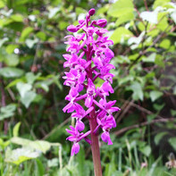 Early orchid