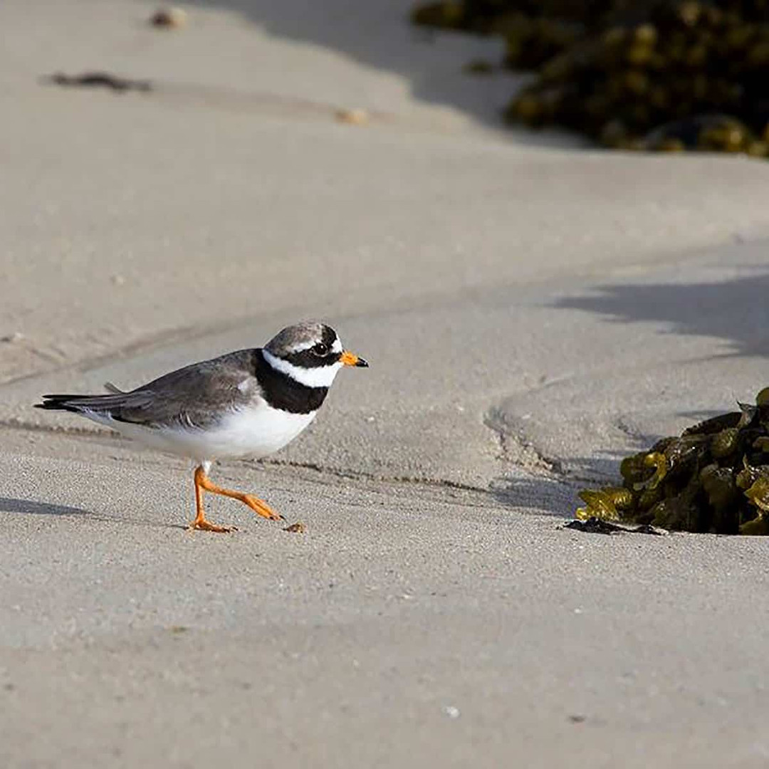 Colonsay seabirds