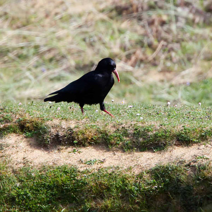 Colonsay Choughs
