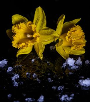 daffodil with snow.jpg