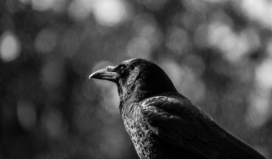 Crow black and white.jpg