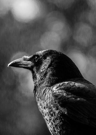 Crow black and white.jpg