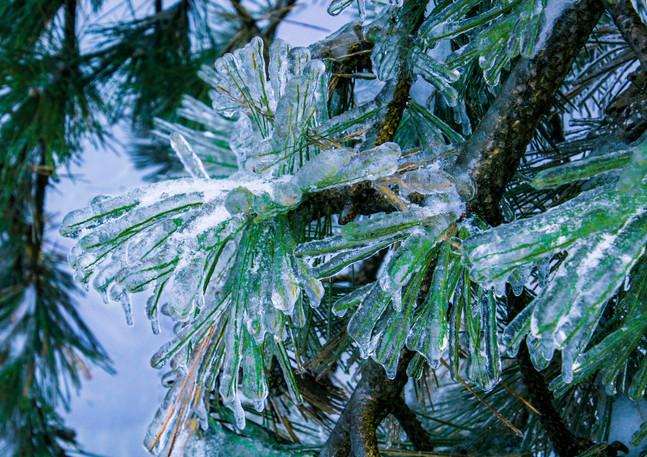 Pine Needles after an ice storm.jpg