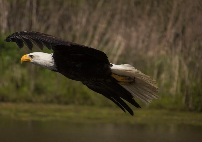 eagle over pond.jpg