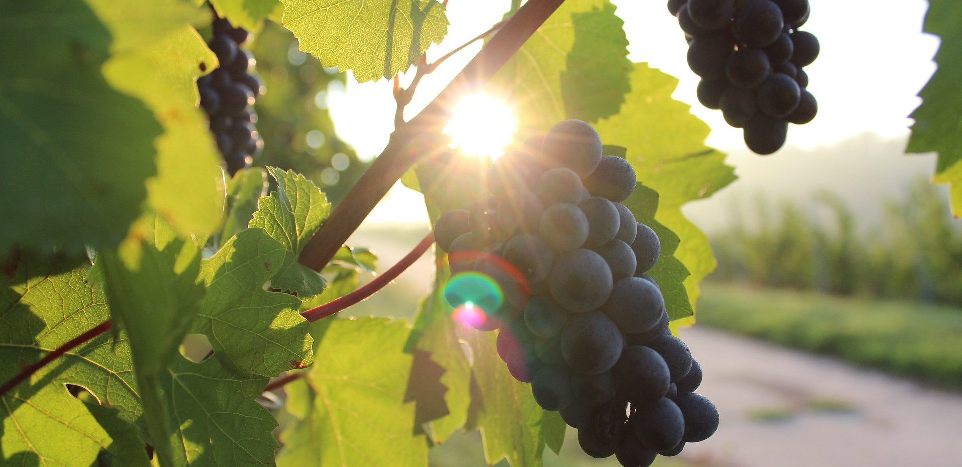 grapes-984493_1920.jpg