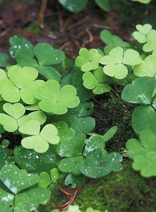 wood-sorrel-287804_1920_edited.jpg