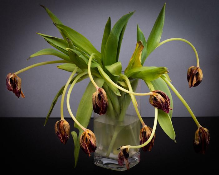 Tulip diary-5.jpg