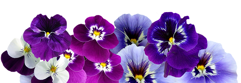 pansy-isolated-violet-nature-flowers-vio