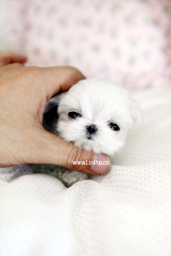 Lux Pup | Teacup Maltese Puppies