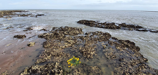 A daffodil in the grey sea.jpeg