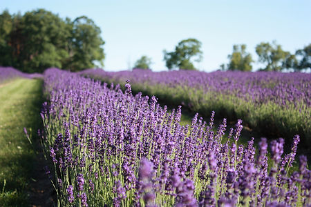 Rows of Blooming Lavender