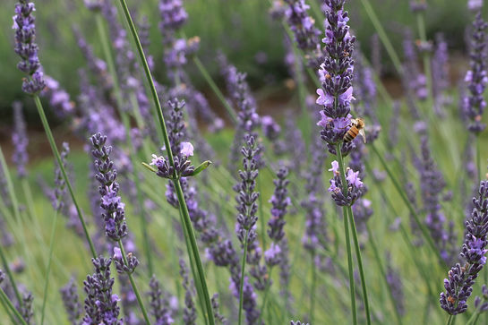 Blooming lavender with a honey on flower