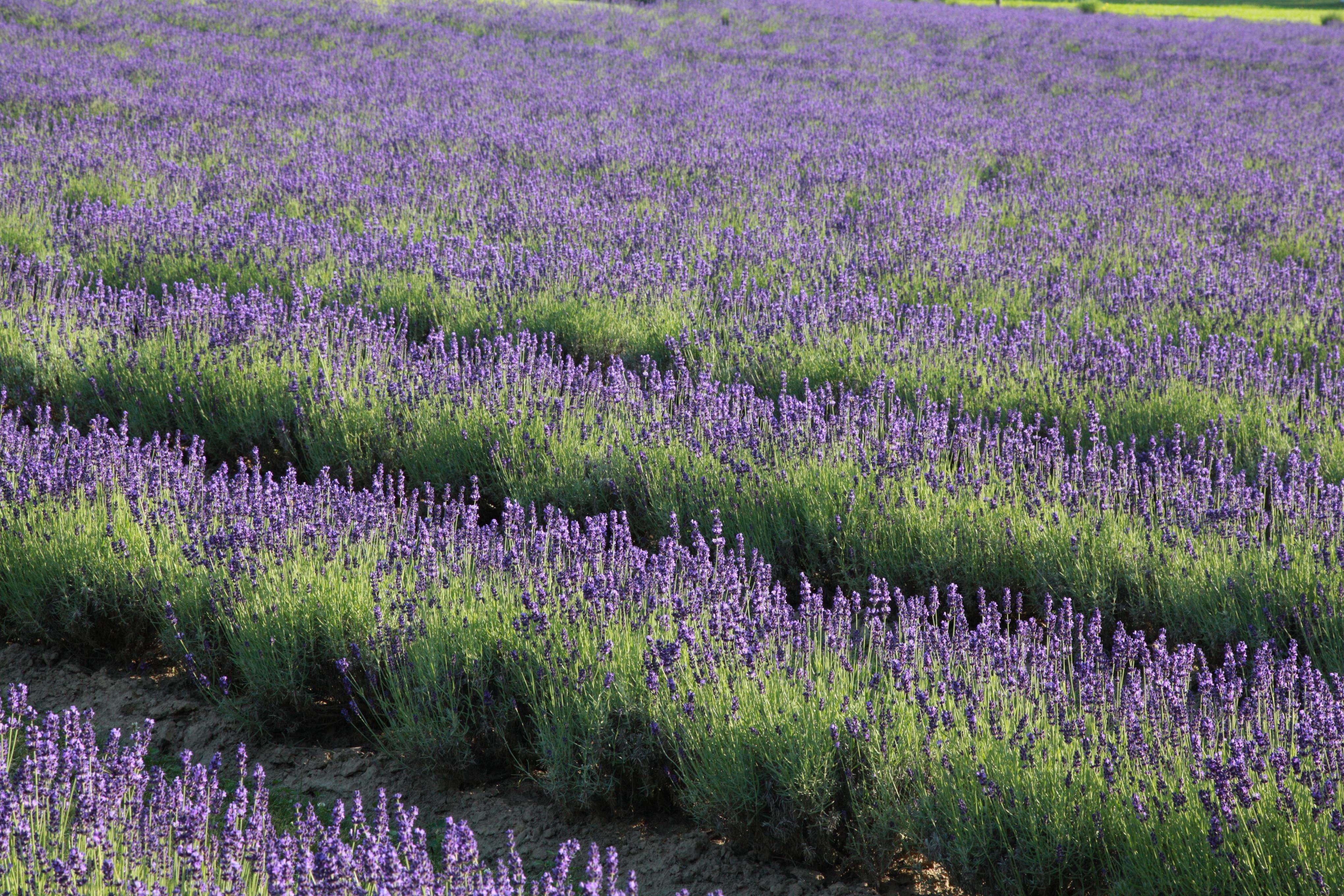 July 2021 Lavender Field Admission