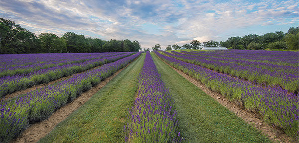 Blooming lavender at Sunrise
