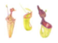 3 Nepenthes.jpg