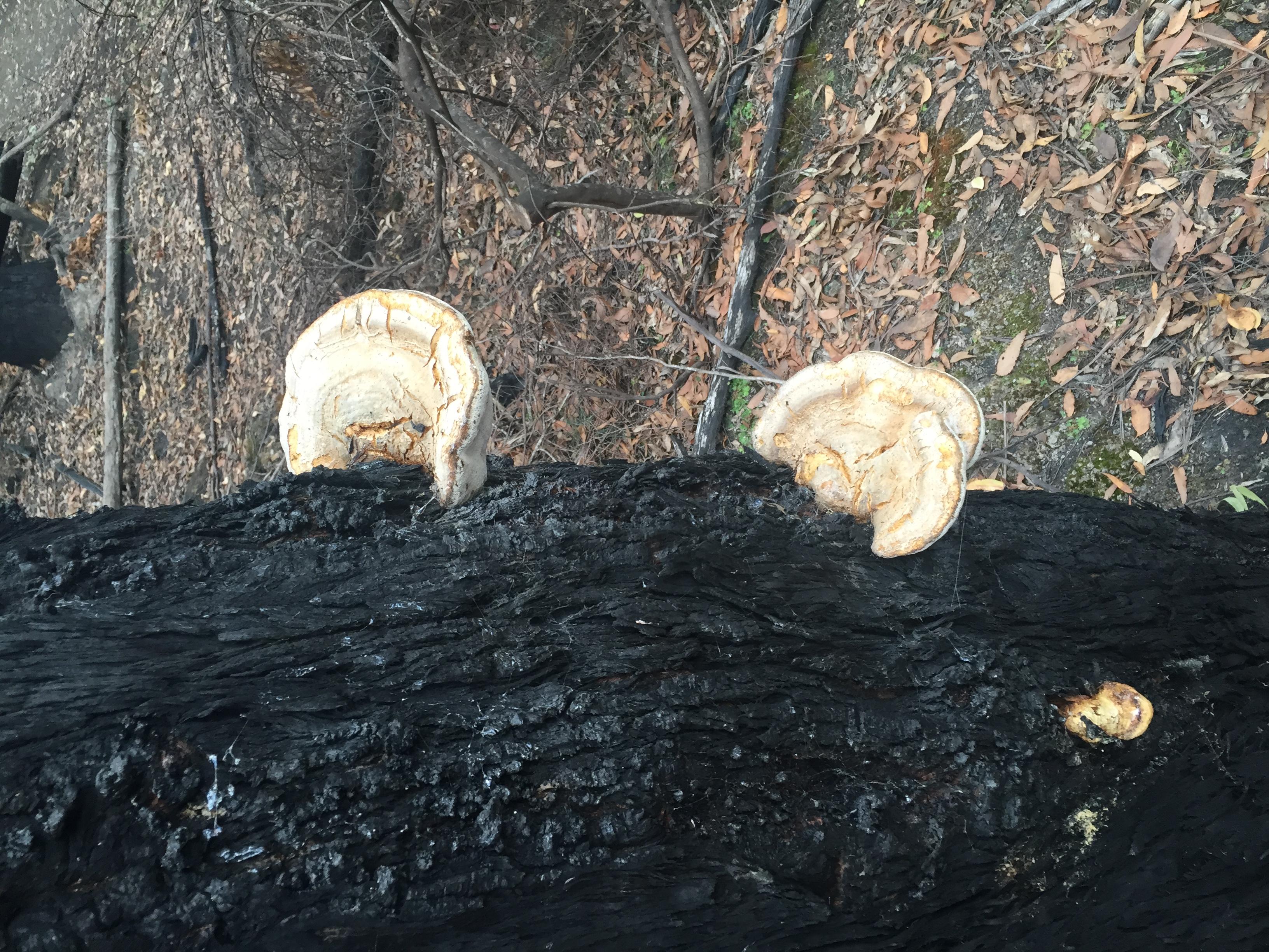 Polymore Bracket on burnt tree
