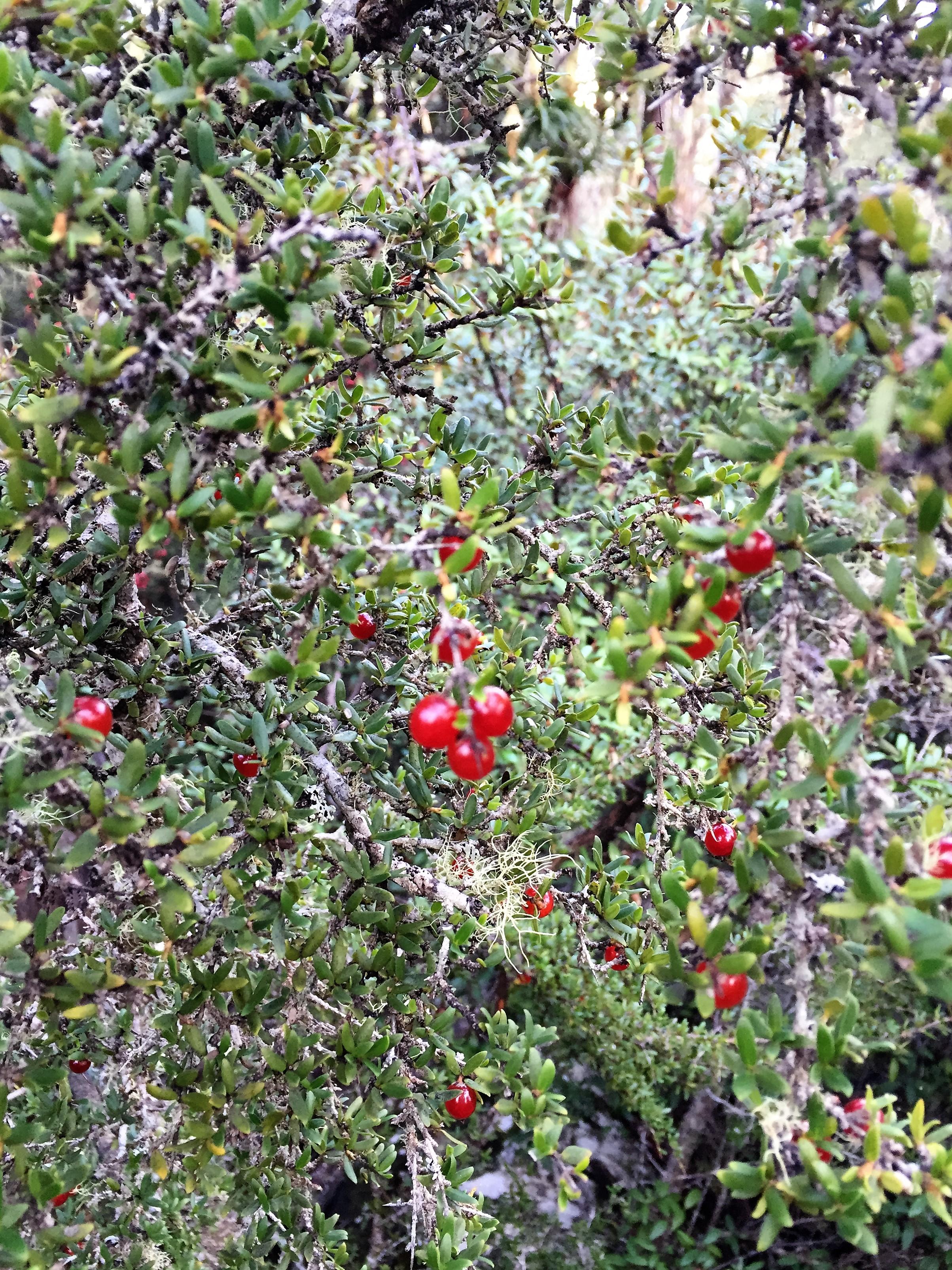 Tasmanian flora