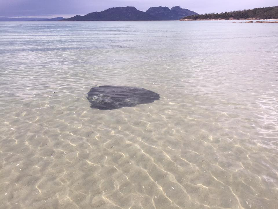 There were a congo line of stingrays at Cooks Beach - Freycinet Circuit