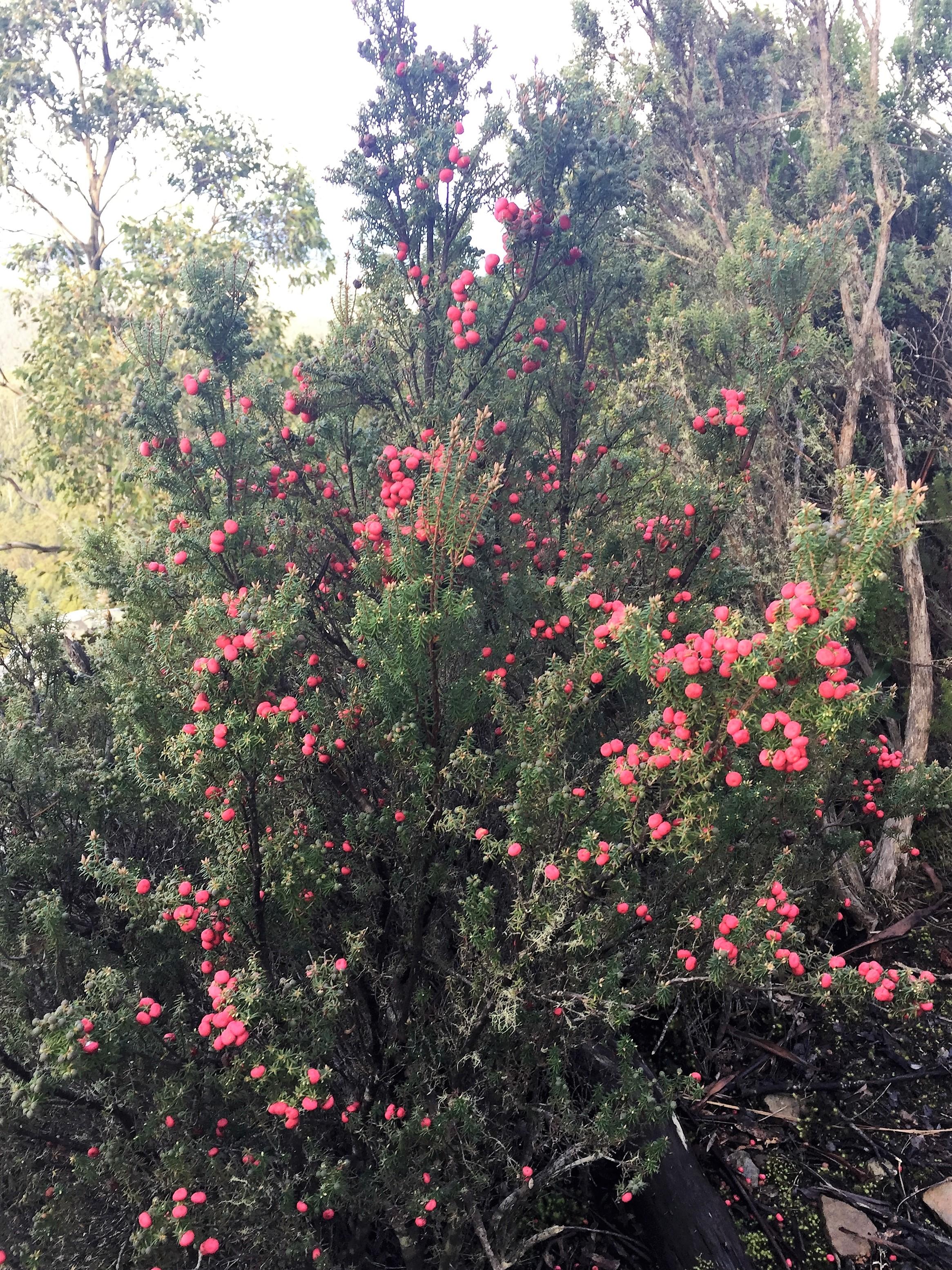 Tasmanian Flora - Disappearing Tarn