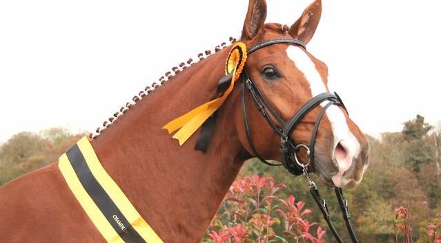 Tantoni Sir Soccrates Stallion Grading